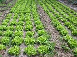 Plantação de Alfaces na Quinta da Bica